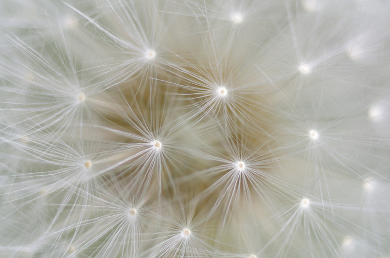 Nodes of meaning in Rae Armantrout's poems, much like the ones in a dandelion's seed head